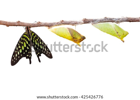 Isolated tailed jay butterfly with chrysalis and mature on white with clipping path - stock photo