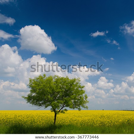 Isolated tree on a rape field / Canola Rapeseed Field - stock photo