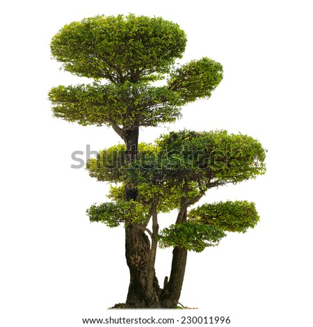 Isolated tree on white background. Plant for beautiful garden  - stock photo