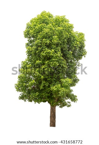 Isolated tree with a light green leaves on white background - stock photo