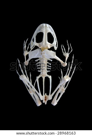 Isolated true rana frog (Rana ridibunda) skeleton on black background - stock photo