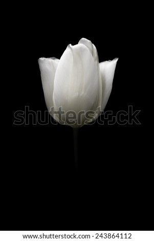 Isolated tulip head appearing from dark canvas representing purity, innocence, forgiveness and respect. - stock photo