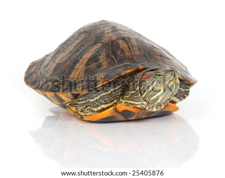 isolated turtle on white
