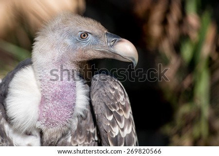 Isolated vulture, buzzard gryphon looking at you  - stock photo