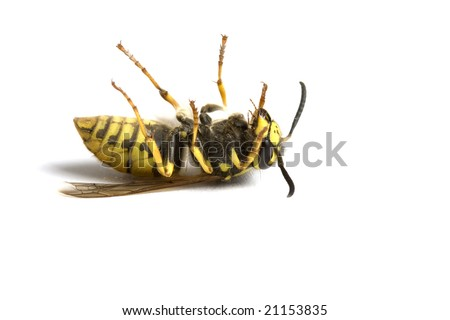 Isolated Wasp - stock photo