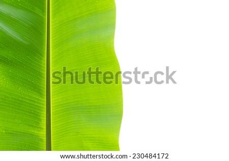 isolated wet banana leaf on white - stock photo
