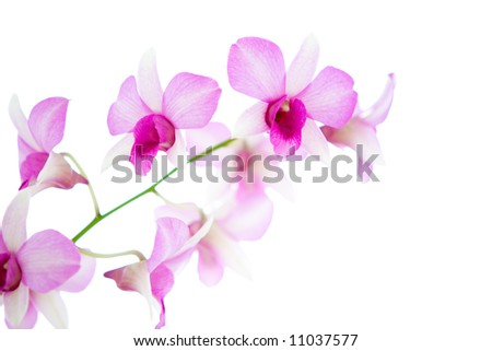 Isolated white and pink oriental orchid . - stock photo