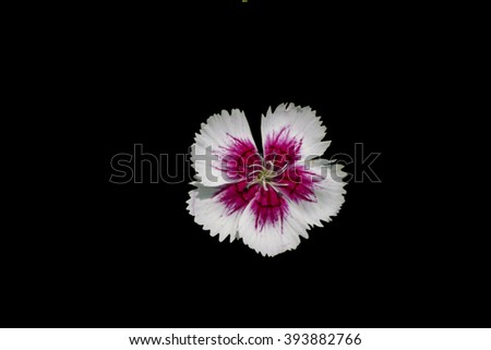 Isolated white hibiscus flower with pink core on black background