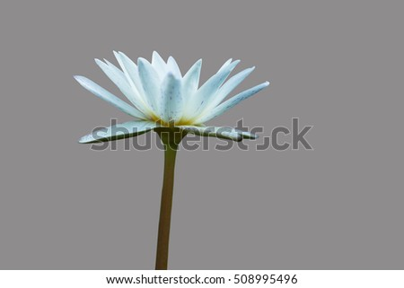 Isolated white lotus on grey background