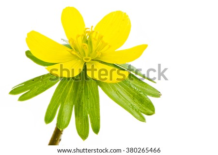 Isolated yellow blossom of winter aconite flower (Eranthis hyemalis) - stock photo
