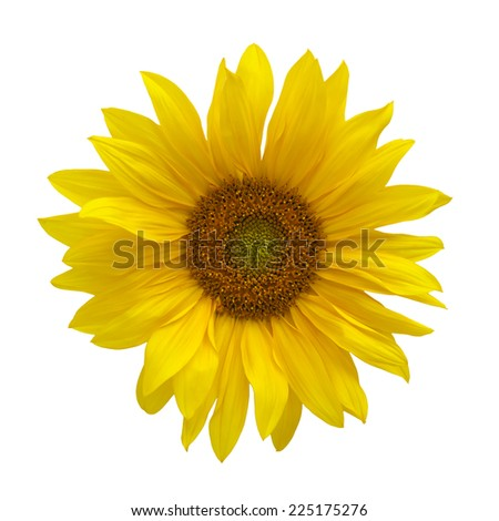 Isolated yellow sunflower on white background
