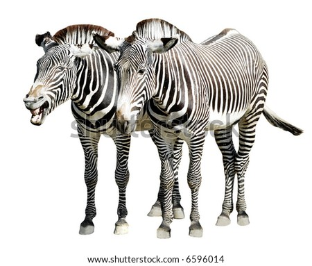 Isolated zebras of Grevy - stock photo