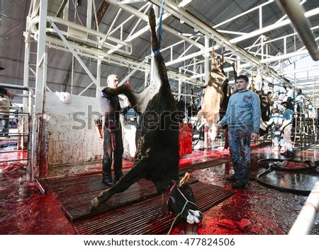 Istanbul,Turkey - November 27,2009 : A group of Turkey Muslims preparing to slaughter a water buffalo during Eid Al-Adha Al Mubarak, the Feast of Sacrifice in Turkey.