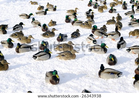 It is cold winter. Many ducks sitting on ice - stock photo