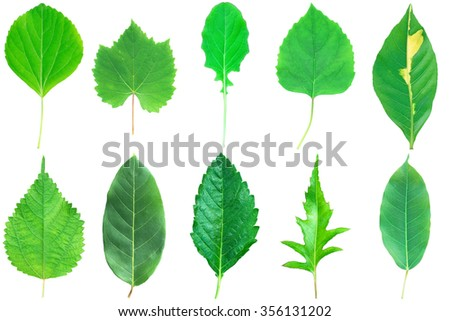 It is Collection of green leaves with stem isolated on white. - stock photo
