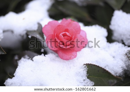 It is fresh snow to the flower of a camellia. - stock photo