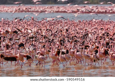 It is picture of flock wild birds flamingos. Kenya. Africa. Nakuru National Park. Lake Bogoria National Reserve. An excellent illustration.