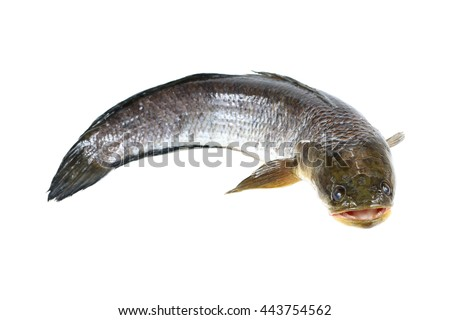 it is snakehead fish isolated on white.