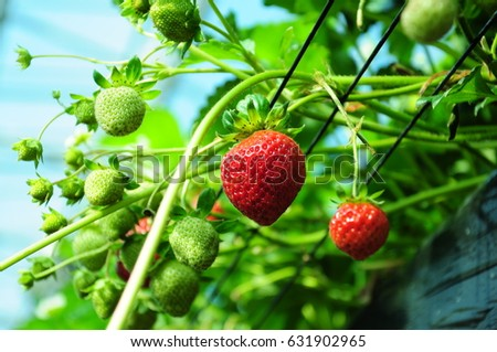 https://thumb9.shutterstock.com/display_pic_with_logo/167494286/631902965/stock-photo-it-is-strawberry-hunting-of-japan-631902965.jpg