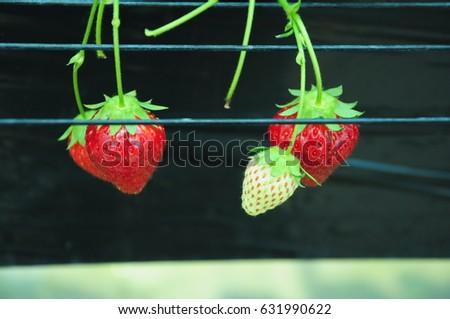 https://thumb9.shutterstock.com/display_pic_with_logo/167494286/631990622/stock-photo-it-is-strawberry-hunting-of-japan-631990622.jpg