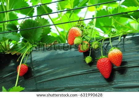 https://thumb9.shutterstock.com/display_pic_with_logo/167494286/631990628/stock-photo-it-is-strawberry-hunting-of-japan-631990628.jpg
