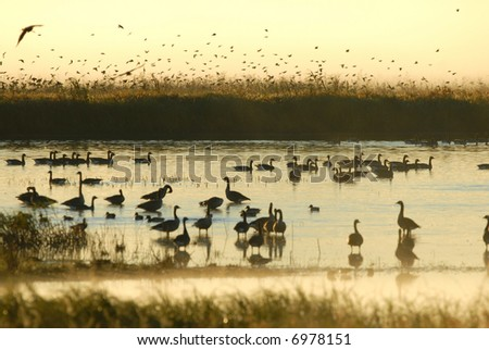 It's a busy morning in the wetlands of a Missouri wildlife refuge. - stock photo
