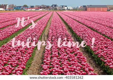 It s tulip time - inspirational phrase written on a picture of spring field in Holland