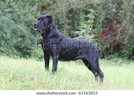italian cane corso - stock photo