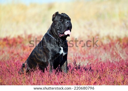Italian Cane Corso dog in the grass - stock photo