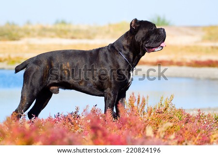 Italian Cane-Corso dog on a grass - stock photo