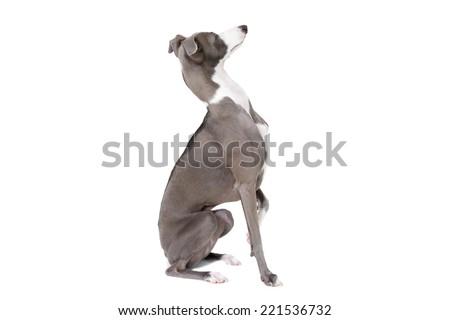 Italian greyhound dog isolated on white background - stock photo