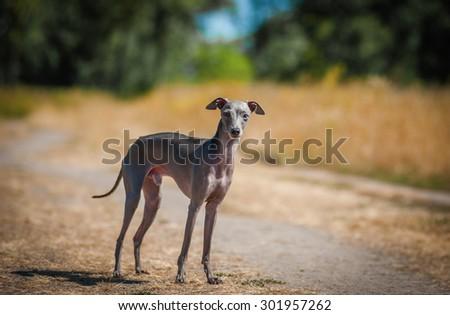 Italian greyhound on the field - stock photo