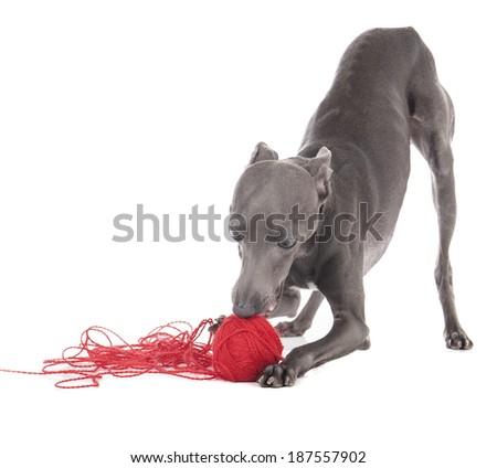 Italian Italian greyhound on white studio background - stock photo