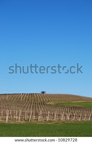 Italian vineyard with blue sky in Marche - Italy