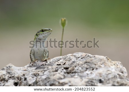 Italian wall lizard, Podarcis sicula, also known as ruin lizard or Istanbul lizard, basking on a rock - stock photo