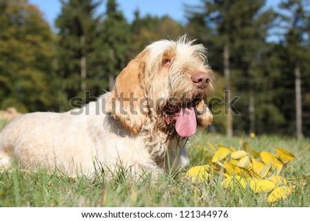 Italian Wire-haired Pointing Dog - stock photo