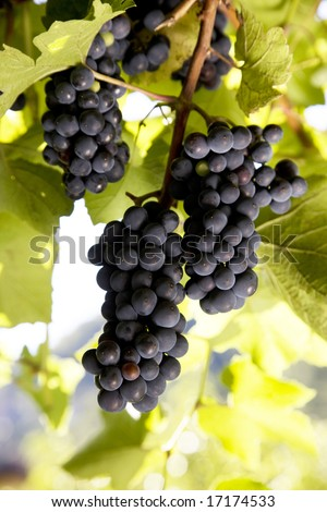 Italy. Grapes. Merlot. - stock photo