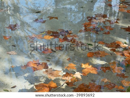 Italy. Rome. Yellow maple leaves floating in the water of the calm pond. Autumn postcard