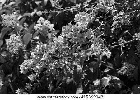 Italy, Sicily, countryside, purple bouganvilleas in a garden