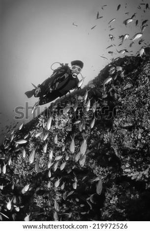 Italy, Tyrrhenian Sea, U.W. photo, Anthias school (Pseudanthias squamipinnis) - FILM SCAN - stock photo