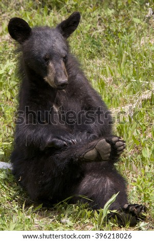 Itchy 1 --  A black bear cub strikes a cute, almost yoga-like pose as it scratches a bothersome itch. - stock photo