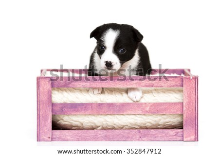 ittle puppy crossbreed isolated on white background