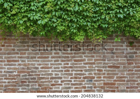 ivy and wall - stock photo