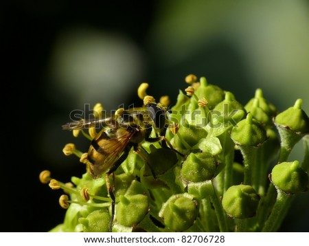 Ivy blossom with hoverfly (Hedera helix) - stock photo