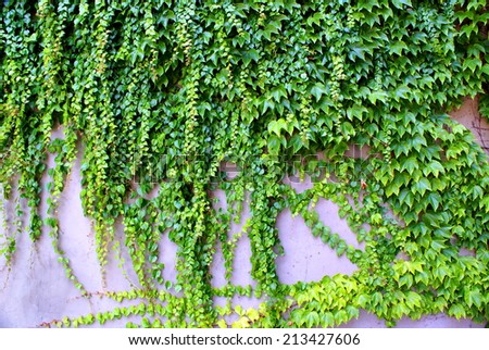 Ivy - climbing ever green plants on the wall in Prague - stock photo