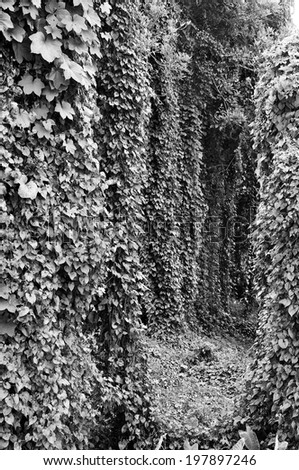 Ivy covered tree becomes a tunnel.Black and white photo.   - stock photo