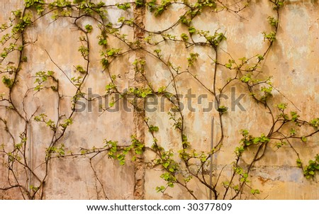 Ivy covering the wall of an old building - stock photo