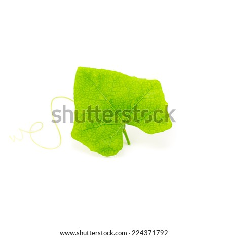 Ivy Gourd - stock photo