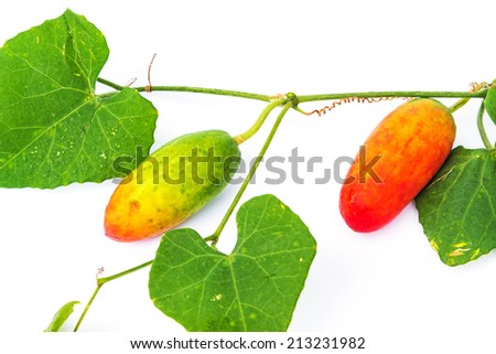 Ivy gourd on white background. Local Vegetables of Thailand. - stock photo