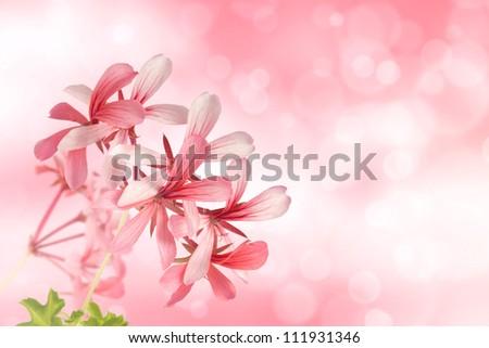 Ivy-leaf geranium (Pelargonium peltatum) on bokeh light effect background - stock photo